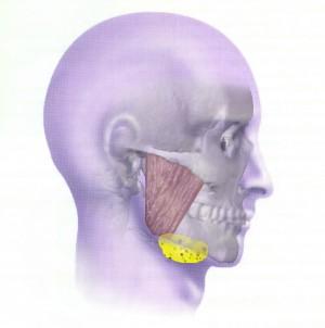 localisation glande sous-maxillaire